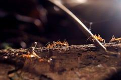 Czerwona mrówka Zdjęcia Royalty Free