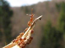 Czerwona mrówka Fotografia Stock