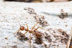 Czerwona mrówka Obraz Stock
