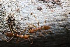 Czerwona mrówka Fotografia Royalty Free