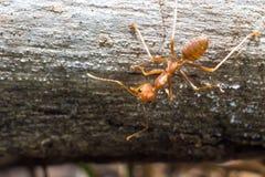Czerwona mrówka Zdjęcie Royalty Free
