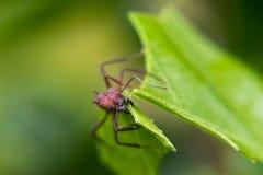 Czerwona mrówka ciie zielonego liść Obrazy Stock