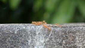 Czerwona mrówka je cukierki wodę na podłoga zbiory wideo
