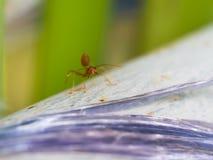 Czerwona mrówka jest Gniewna fotografia royalty free
