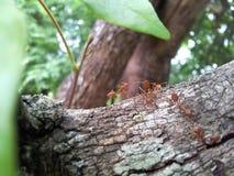 Czerwona mrówka, mrówka Fotografia Stock