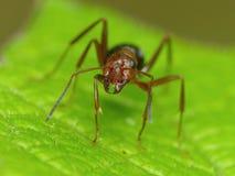 Czerwona mrówka na liściu Fotografia Royalty Free