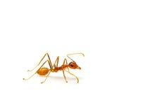 Czerwona mrówka odizolowywająca na białym tle Zdjęcie Stock