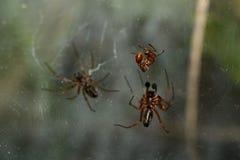 Czerwona mrówka uderza spiderweb Fotografia Royalty Free