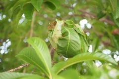 Czerwona mrówka z zielonymi liśćmi Obraz Royalty Free
