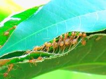 Czerwona mrówki praca zespołowa w naturze Fotografia Stock