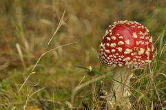 Czerwona muchomor pieczarka w lesie podczas gdy Zdjęcie Stock