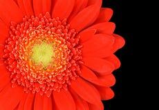 Czerwona nagietka Gerbera kwiatu część Odizolowywająca na czerni Obraz Stock