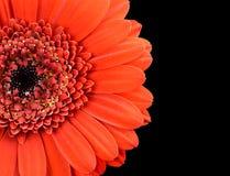 Czerwona nagietka kwiatu część Odizolowywająca na czerni Obraz Stock