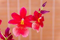 Czerwona orchidea obrazy stock