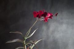 Czerwona orchidea Fotografia Stock