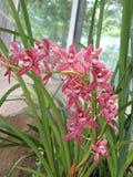Czerwona orchidea (Hybrydowy Cymbidium) Zdjęcie Royalty Free