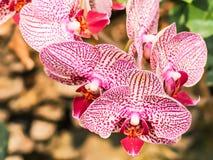 Czerwona orchidea kwitnie na naturalnym tle Zdjęcia Stock