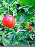 Czerwona owoc Fotografia Stock