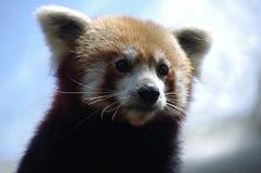 Czerwona panda Śliczna, Uroczy, Zadumany, zdjęcia royalty free