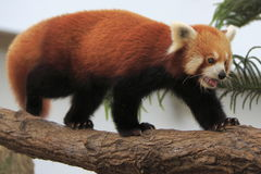 Czerwona panda 2 Fotografia Stock