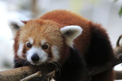 Czerwona panda 4 Zdjęcie Stock