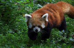 Czerwona panda Zdjęcie Stock