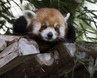 Czerwona panda Zdjęcia Royalty Free