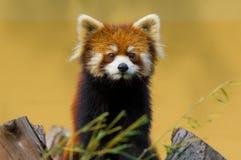 Czerwona panda Fotografia Royalty Free