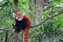 Czerwona panda Fotografia Stock