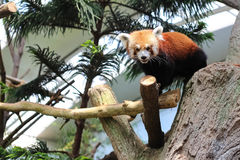 Czerwona panda Zdjęcie Royalty Free