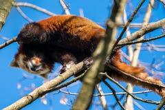 Czerwona panda, Ailurus fulgens, tak?e dzwoni? lesser pandy zdjęcie stock