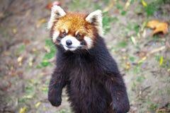 Czerwona panda Czerwonej pandy stojaki na swój tylnych nogach Czerwonej pandy zbliżenie Obraz Royalty Free