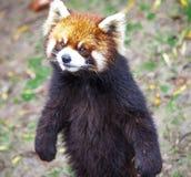 Czerwona panda Czerwonej pandy stojaki na swój tylnych nogach Czerwonej pandy zbliżenie Obrazy Stock