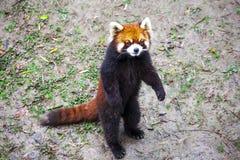 Czerwona panda Czerwonej pandy stojaki na swój tylnych nogach Czerwonej pandy zbliżenie Obraz Stock