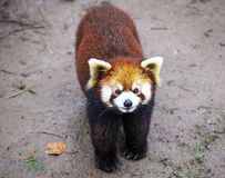 Czerwona panda Czerwonej pandy stojaki na swój tylnych nogach Czerwonej pandy zbliżenie Zdjęcia Stock