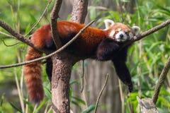 Czerwona panda, Firefox lub Lesser panda, Obraz Stock