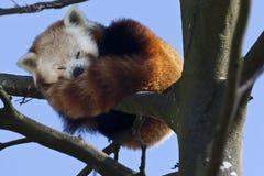 Czerwona Panda - Południowy Chiny Zdjęcie Royalty Free