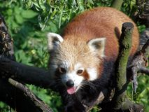 Czerwona panda w Ostrava zoo Obraz Royalty Free