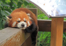 Czerwona panda w parku Chengdu Obraz Royalty Free