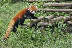 Czerwona panda w Sichuan, Chiny obrazy royalty free