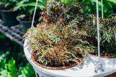 Czerwona paprociowa roślina w garnku pod słońca światłem Fotografia Stock