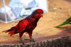 Czerwona papuga zdjęcia royalty free