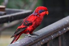 Czerwona papuga obrazy stock