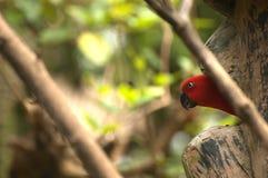 Czerwona papuga obraz royalty free