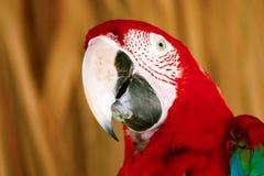 Czerwona papuga Zdjęcia Stock