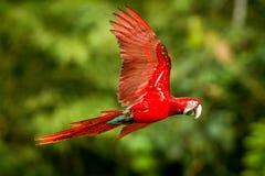 Czerwona papuga w locie Ary latanie, zielona roślinność w tle Rewolucjonistki i zieleni ara w tropikalnym lesie fotografia royalty free