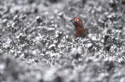 Czerwona pardwa, Lagopus lagopus fotografia royalty free