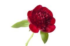 Czerwona peonia Obraz Royalty Free
