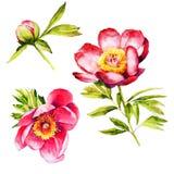 Czerwona peonia kwiatu akwarela royalty ilustracja