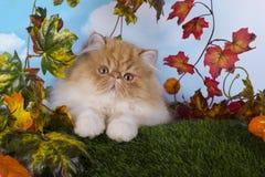 Czerwona Perska figlarka bawić się na trawy jesieni pięknym dniu Zdjęcie Royalty Free